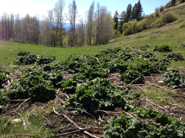 Rhubarb patch gone feral on site of 100 year old homestead.