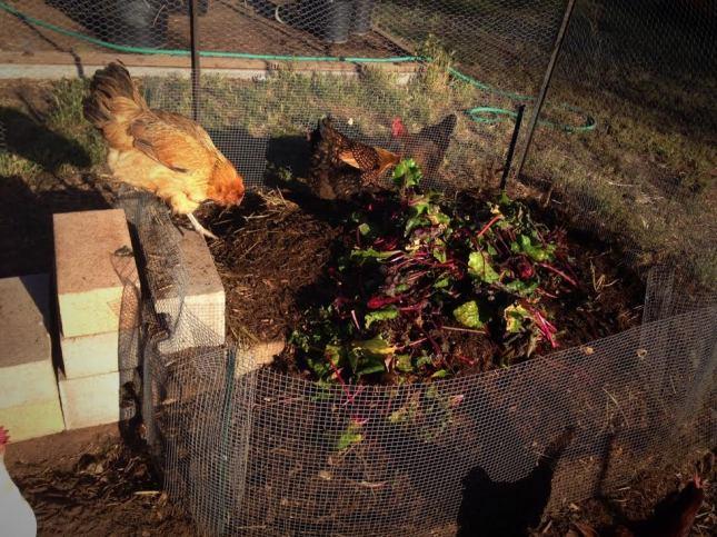 chicken compost 2