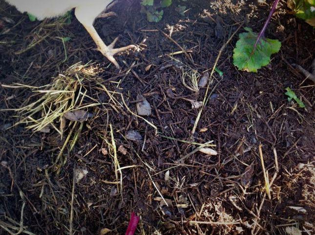 chicken compost 3