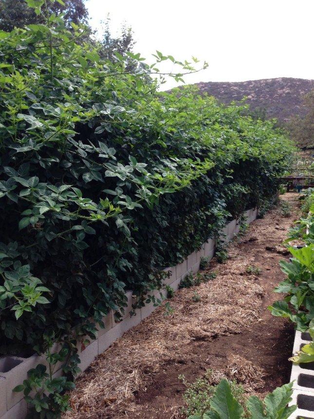 blackberry hedge