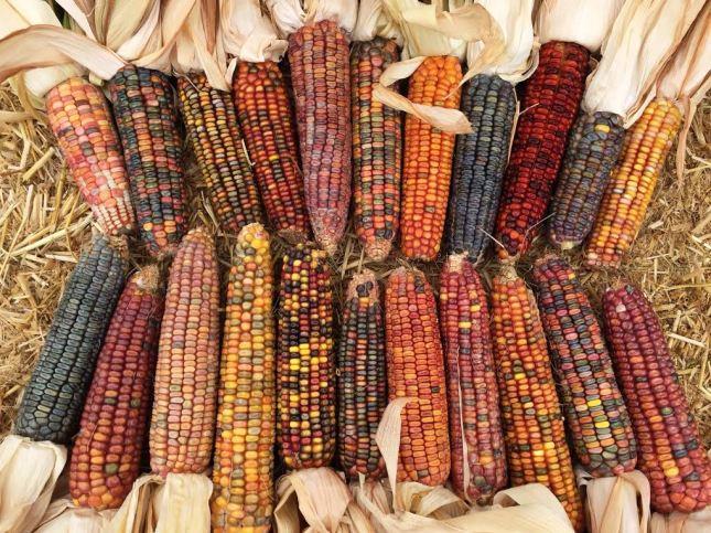 earth tones corn 3