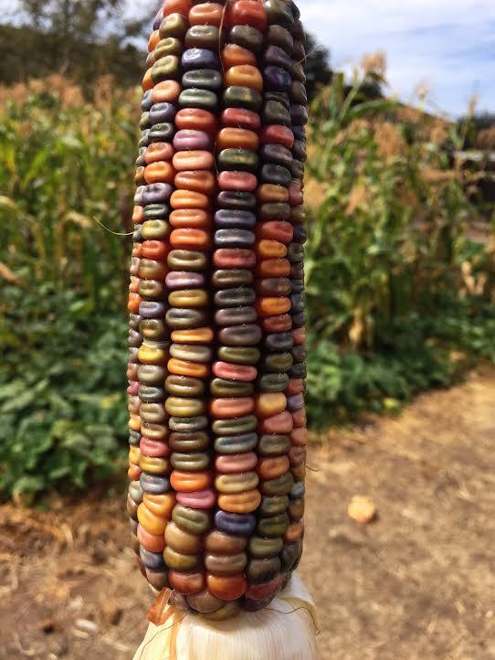 earth tones dent corn 2